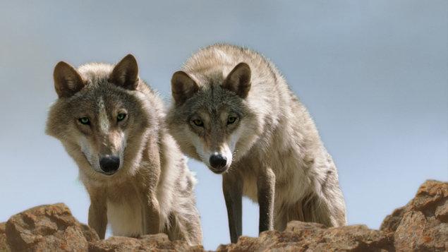 BFF: Totem vlka