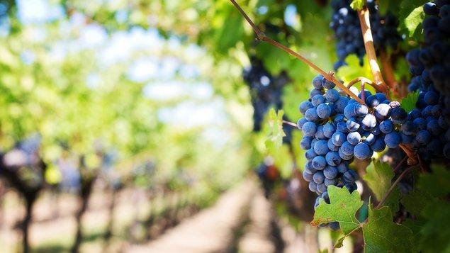 Pelhřimovské vinohraní