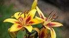 Výstava květin - kvetoucí lilie