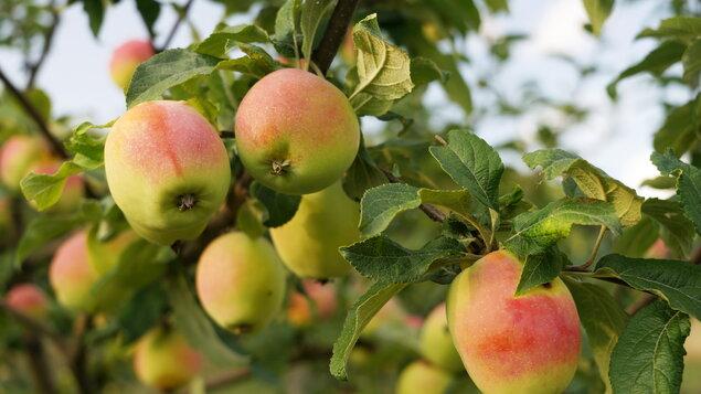 Bielokarpatský ovocný poklad (Plody Dubnických záhrad 2021) + DISKUSIA