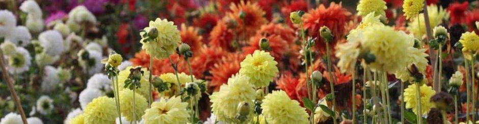 Výstava květin - jiřiny