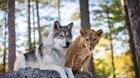 Vlk a lev: Nečekané přátelství
